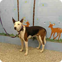 German Shepherd Dog Mix Dog for adoption in San Bernardino, California - URGENT on 12/3 SAN BERNARDINO