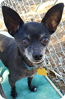 Chihuahua Mix Dog for adoption in New River, Arizona - Mister