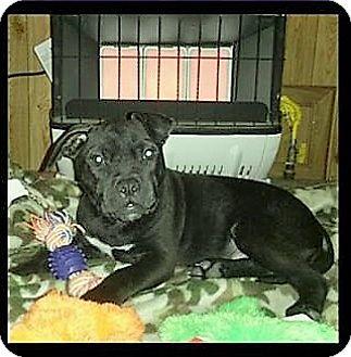 Pit Bull Terrier/Labrador Retriever Mix Dog for adoption in Wichita Falls, Texas - Little Dude