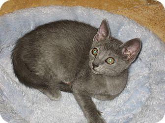 Russian Blue Kitten for adoption in Phoenix, Arizona - IRIS