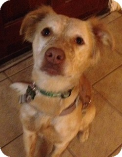 Australian Cattle Dog/Brittany Mix Dog for adoption in Phoenix, Arizona - Autumn