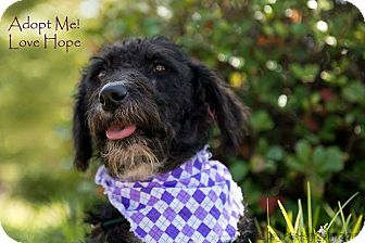 Bedlington Terrier Dog for adoption in Henderson, North Carolina - Hope