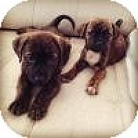 Adopt A Pet :: boxer /lab mix pups! - Marlton, NJ