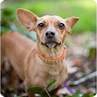 Adopt A Pet :: Star - Sherman Oaks, CA