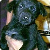 Adopt A Pet :: LICORICE - dewey, AZ