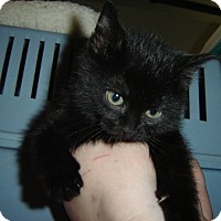 Adopt A Pet :: Midnight - Grayslake, IL