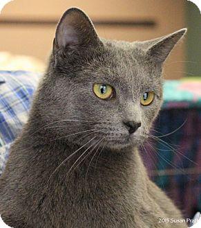 Bedford, VA - Russian Blue. Meet Salem a Cat for Adoption.