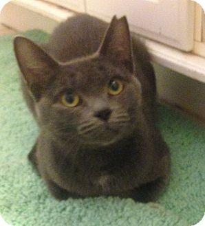 Domestic Shorthair Cat for adoption in Davison, Michigan - Marcie