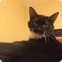 Adopt A Pet :: Milk Shake - Glendale, AZ