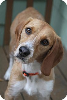 Beagle/Terrier (Unknown Type, Medium) Mix Dog for adoption in Wayne, New Jersey - Buster the Beagle