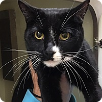Domestic Shorthair Cat for adoption in New York, New York - Pookie