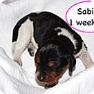 Adopt A Pet :: Penelope's Sabina