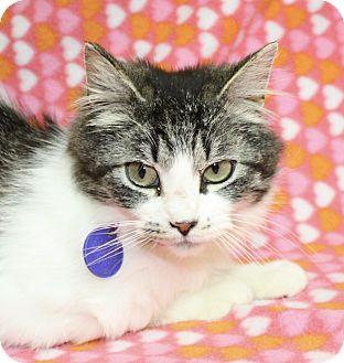 Domestic Longhair Cat for adoption in Jackson, Michigan - Desiree