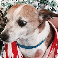 Terrier (Unknown Type, Small)/Chihuahua Mix Dog for adoption in San Juan Capistrano, California - Freckles