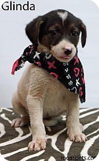 Shepherd (Unknown Type)/Labrador Retriever Mix Puppy for adoption in Waterbury, Connecticut - Glinda