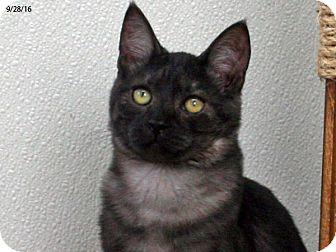 Domestic Shorthair Kitten for adoption in Republic, Washington - Bugsy