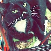 Adopt A Pet :: Brittian - Abbeville, LA