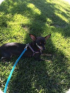 Miniature Pinscher Dog for adoption in Valencia, California - GiGi