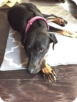 Doberman Pinscher Mix Dog for adoption in Alpharetta, Georgia - Namori