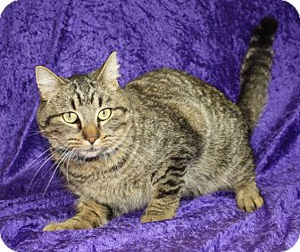 Domestic Shorthair Cat for adoption in Jackson, Michigan - Spartan