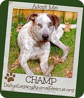 Cattle Dog/Labrador Retriever Mix Dog for adoption in Lincoln, Nebraska - CHAMP