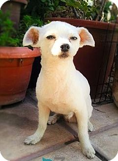 Terrier (Unknown Type, Small)/Maltese Mix Dog for adoption in Santa Monica, California - COCO