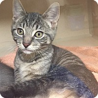 Domestic Shorthair Kitten for adoption in Norwalk, Connecticut - Kittens!