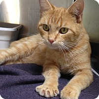 Adopt A Pet :: Cheeto - Mountain View, AR