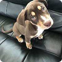 Adopt A Pet :: Happy - Agoura Hills, CA