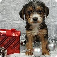 Adopt A Pet :: Eve - Champaign, IL