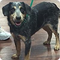 Adopt A Pet :: Baxter - McKinney, TX
