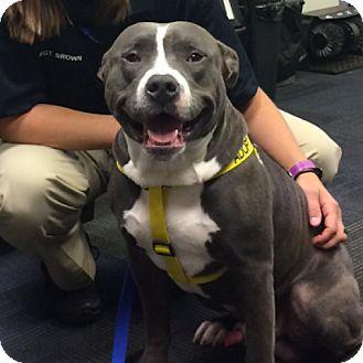 Pit Bull Terrier Mix Dog for adoption in Tulsa, Oklahoma - Otis