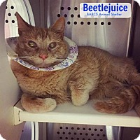 Adopt A Pet :: Beetlejuice - Baltimore, MD