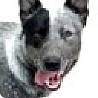 Adopt A Pet :: Sky - Boulder, CO