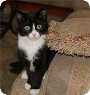 Domestic Shorthair Kitten for adoption in Berkeley Hts, New Jersey - Rapunzel