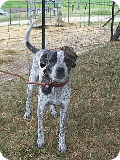 German Shorthaired Pointer/Boxer Mix Dog for adoption in Chewelah, Washington - Plaid