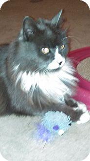 Maine Coon Cat for adoption in Reston, Virginia - Grant