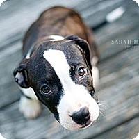 Adopt A Pet :: Gigi - Reisterstown, MD