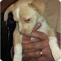 Adopt A Pet :: Cattle Kate - pearl pup - Phoenix, AZ