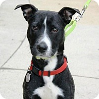 Adopt A Pet :: Murphy - North Wales, PA