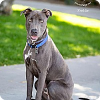 Staffordshire Bull Terrier/Weimaraner Mix Dog for adoption in Chandler, Arizona - FREDDIE