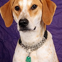 Hound (Unknown Type) Mix Dog for adoption in St. Louis, Missouri - Handsome James Hound Dog