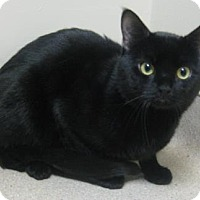 Domestic Shorthair Cat for adoption in Gary, Indiana - Zipper