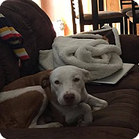Adopt A Pet :: Jeanie - Fairview Heights, IL