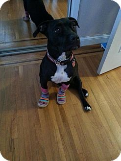 American Pit Bull Terrier/Labrador Retriever Mix Dog for adoption in Brooklyn, New York - Presley