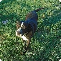 Labrador Retriever Mix Dog for adoption in Seattle, Washington - Josie
