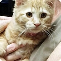 Domestic Mediumhair Kitten for adoption in Irwin, Pennsylvania - Ginger