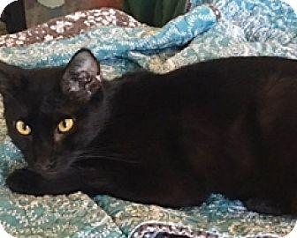 Bombay Cat for adoption in Houston, Texas - Ranger
