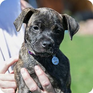 Pit Bull Terrier Mix Puppy for adoption in San Diego, California - Hazel  (pending adoption)