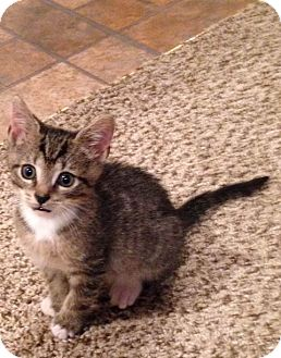 Domestic Shorthair Kitten for adoption in Devon, Pennsylvania - JoJo